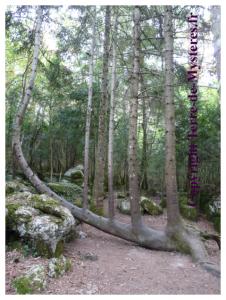 Forêt de Nébias : l'arbre Lyre