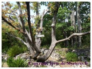 Forêt de Nébias, l'arbre Poulpe